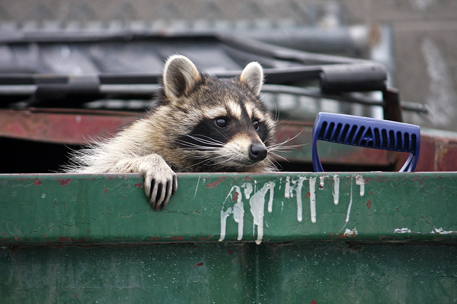 Raccoon in roll off dumpster